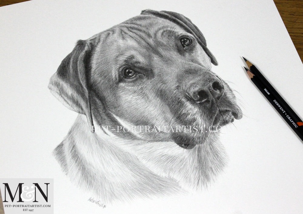 Pencil Pet Portrait of Rufus