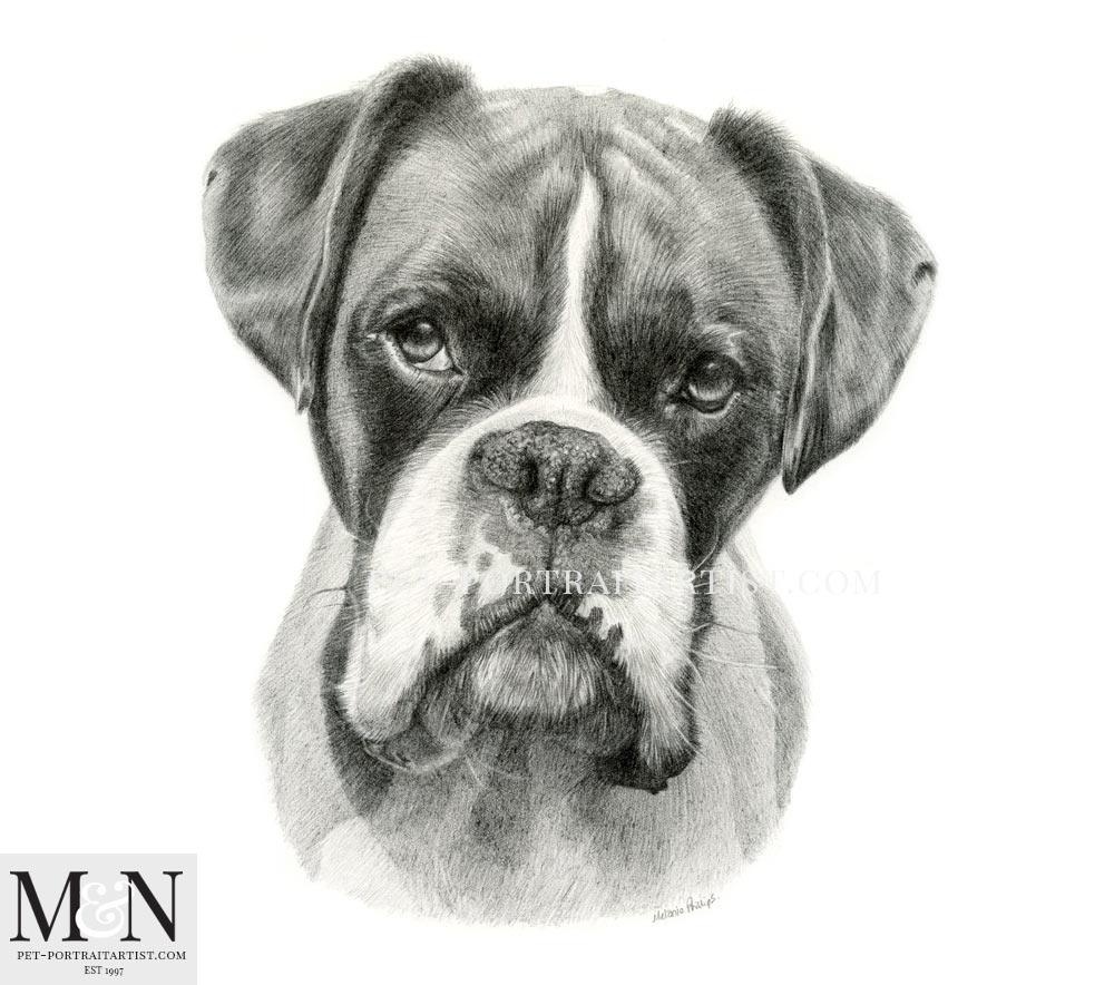 Boxer Pencil Drawing Melanie Nicholas Pet Portraits
