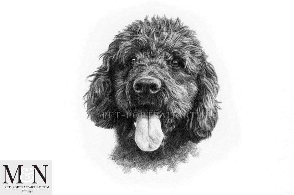 Pencil Drawing of Labradoodle Georgie