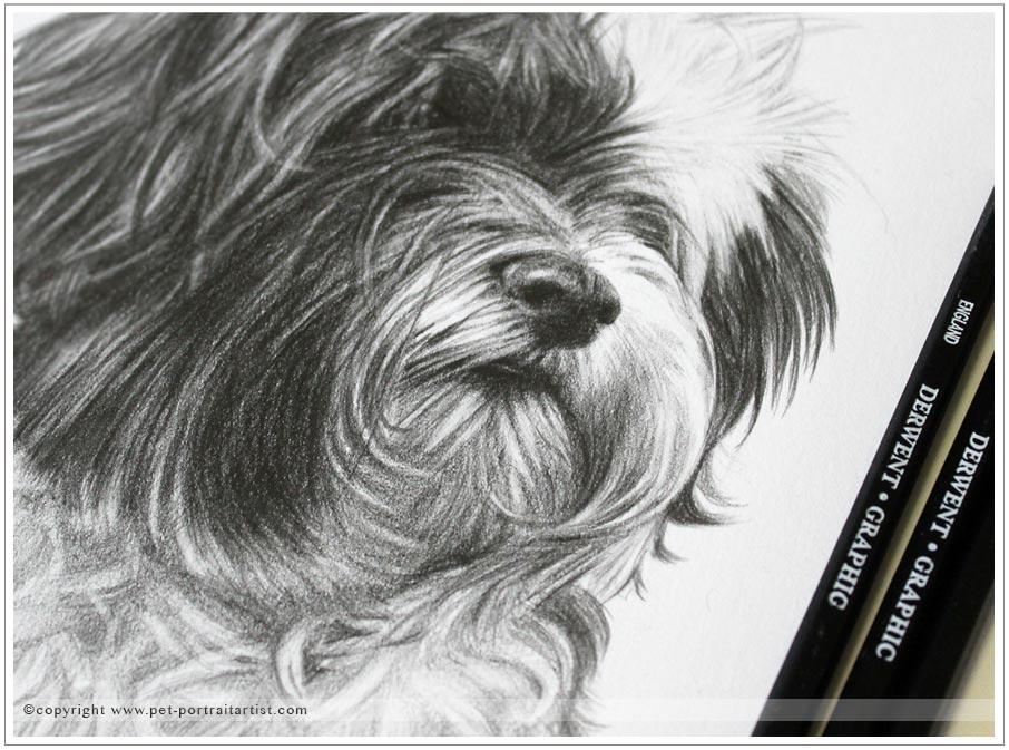 Tibetan Terrier Pet Portraits