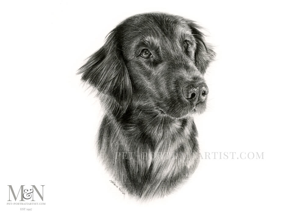 Flat Coat Drawing of Saffy