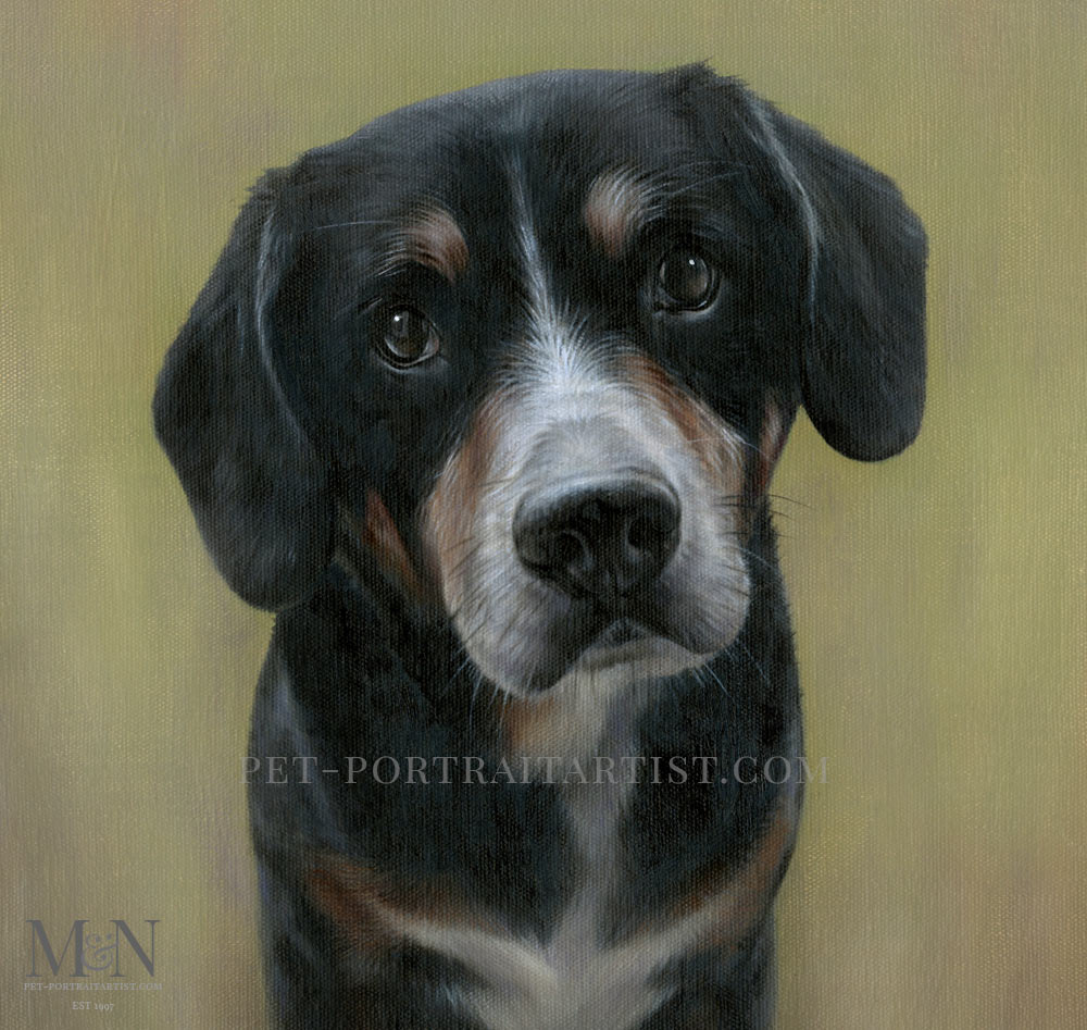 Pet Portrait of Lance an Entlebucher Mountain Dog
