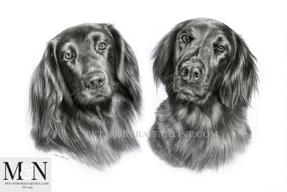 Flat Coated Retriever Pencil Portrait