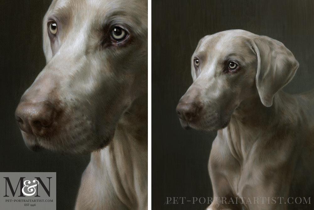 Weimaraner Pet Portrait