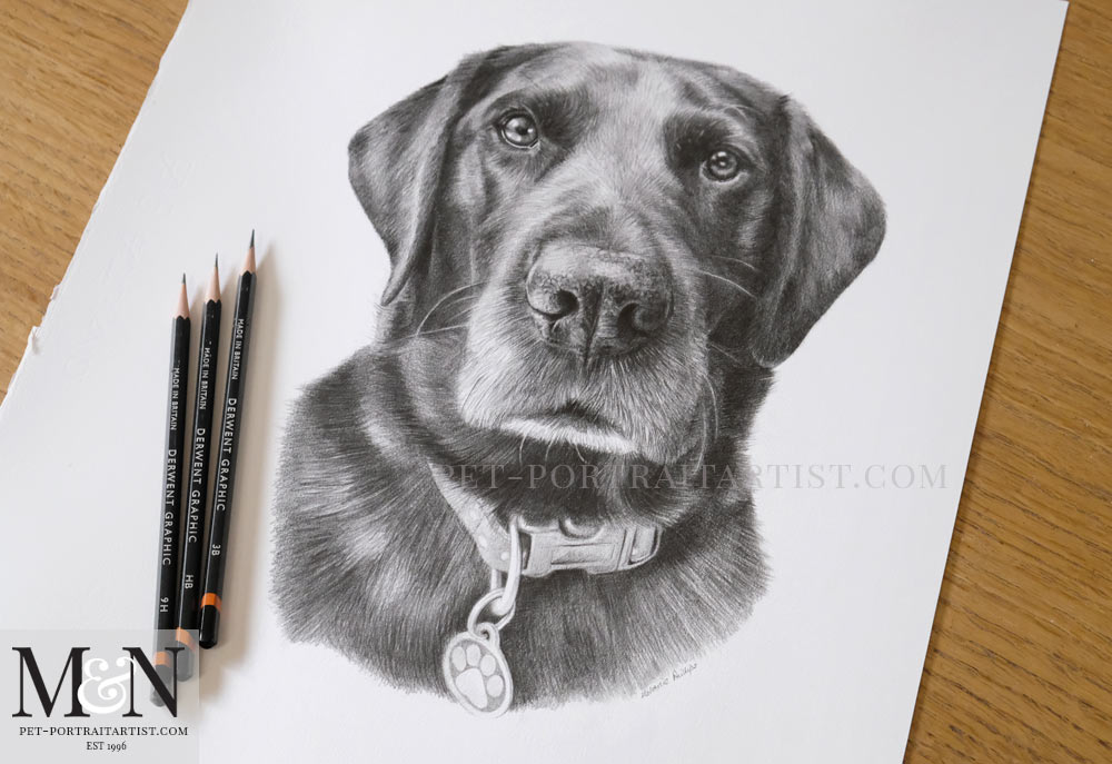 Black Labrador Pencil Drawing