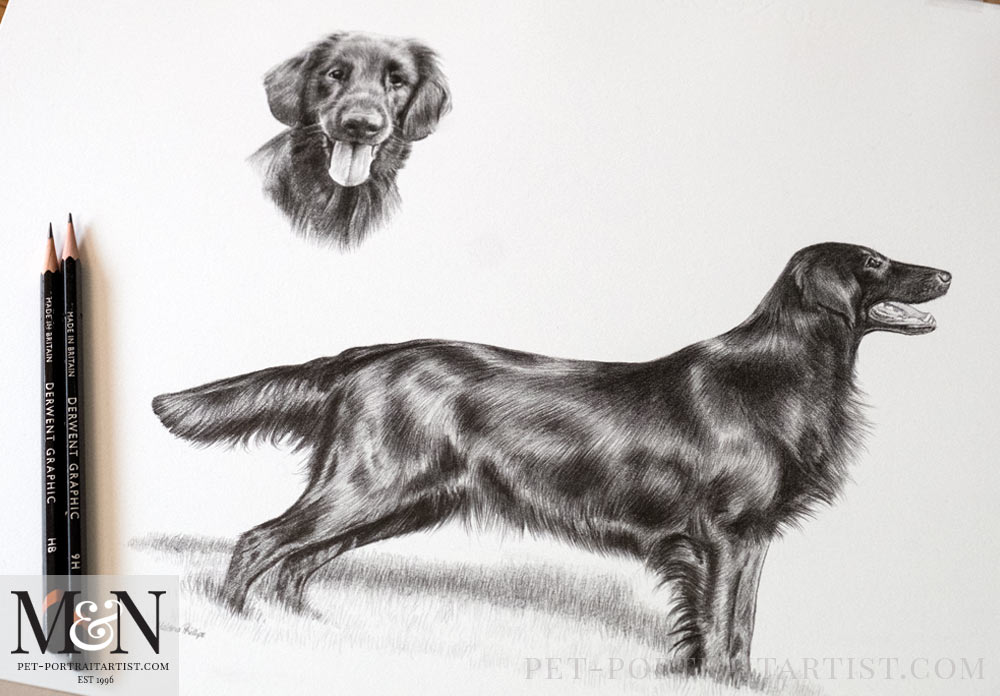 Flatcoat Retriever Drawing