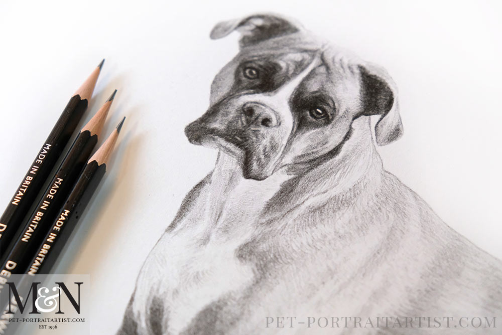 Boxer Dog Drawing
