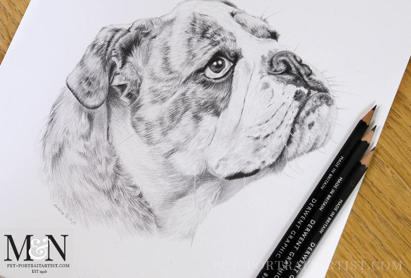 Bull Dog Portraits