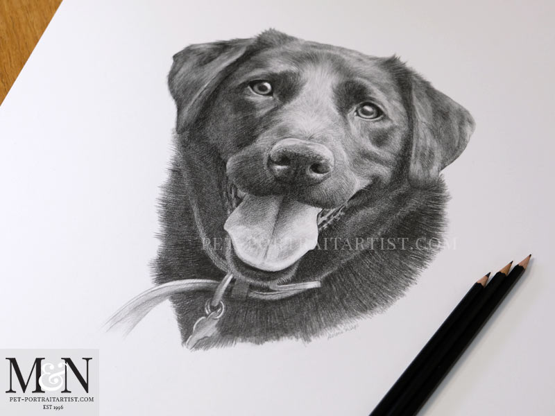 Black Labrador Portrait with Pencils