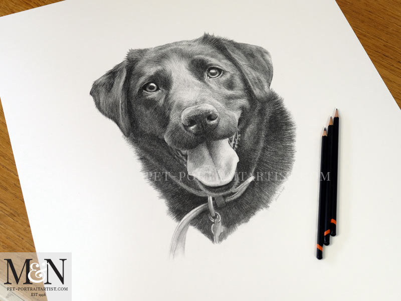 Photo of the Black Labrador Portrait