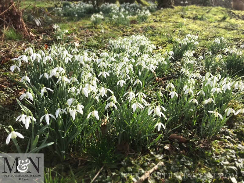 Melanie's February News Snowdrops in the Woodland