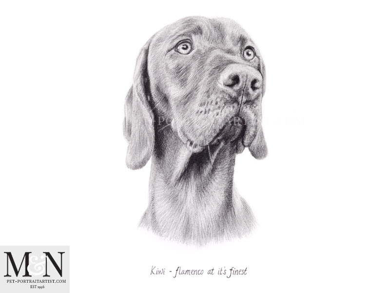 Vizsla Pencil Drawing