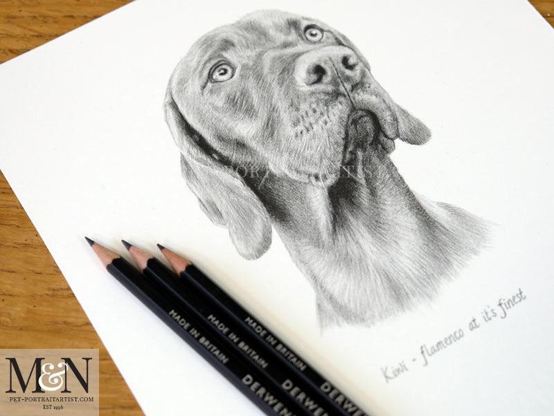 Vizsla Pencil Drawing Portrait