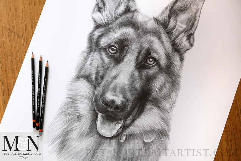 Alsatian Pencil Drawing Detail