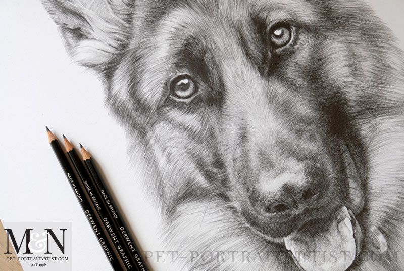 Alsatian Pencil Drawing Close Up