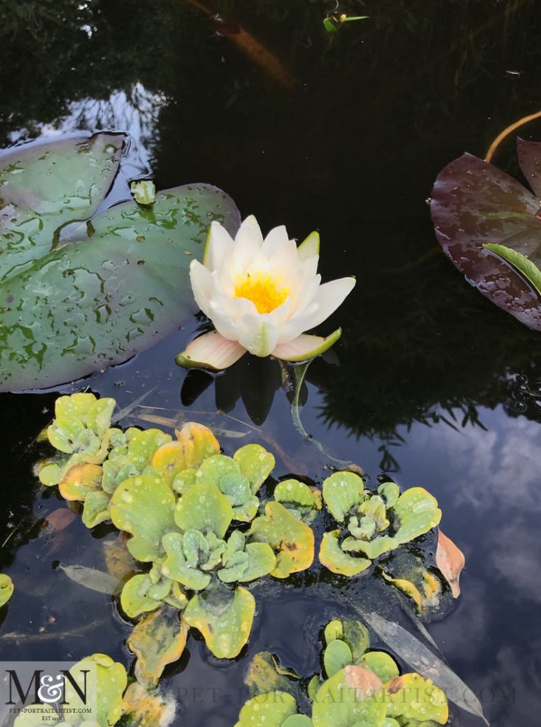 Our Lily in our Pond