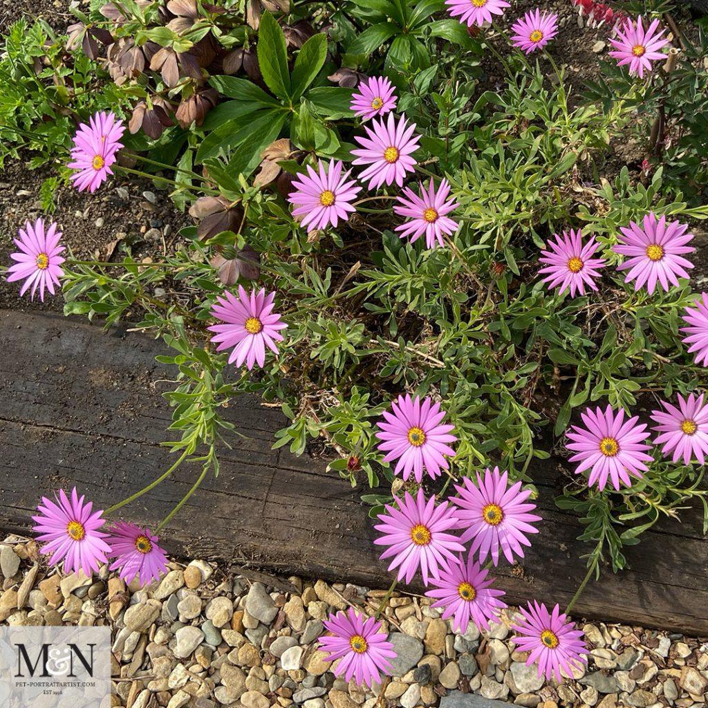 Osteospermum - Melanie's April Monthly News