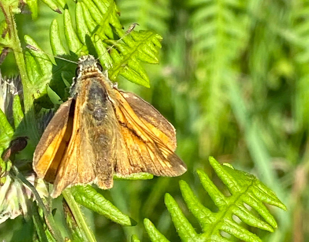 Little Skipper