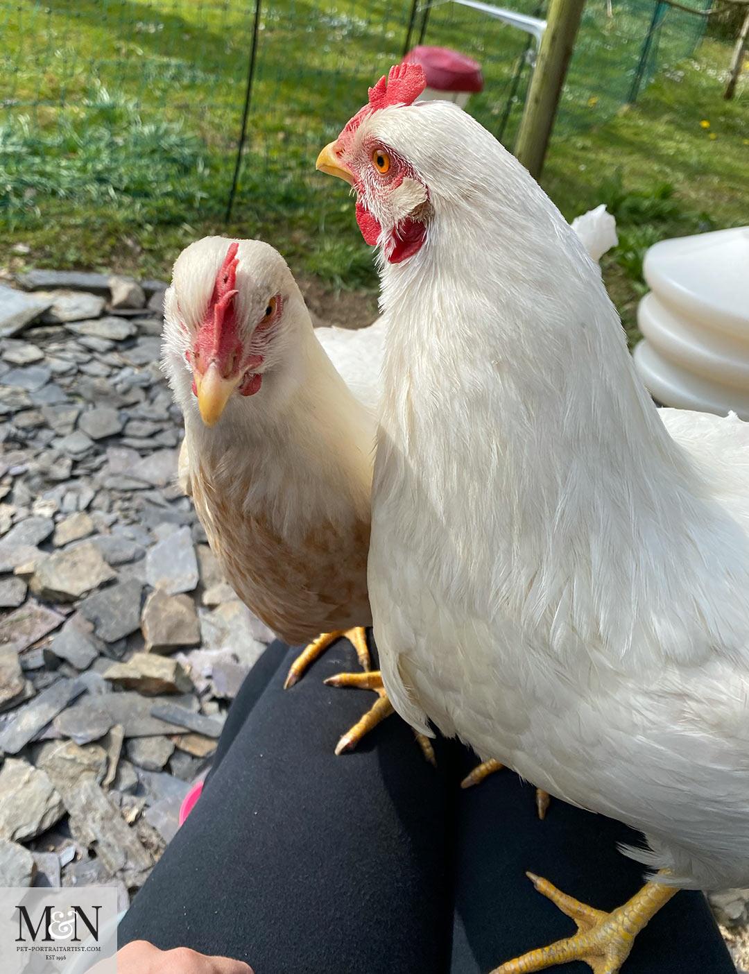 Melanie's April Monthly News - Chicken News