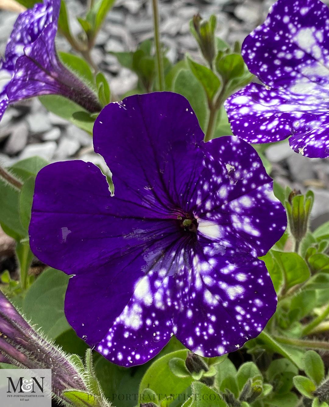 purple night sky petunias