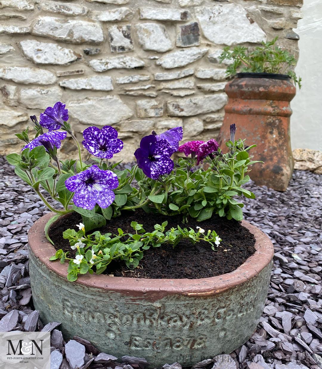 blue hardy geranium and petunias