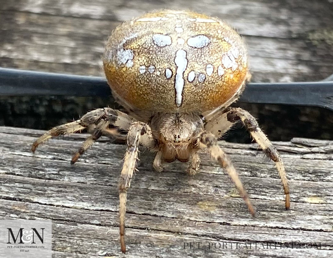 Four Spotted Orb web spider