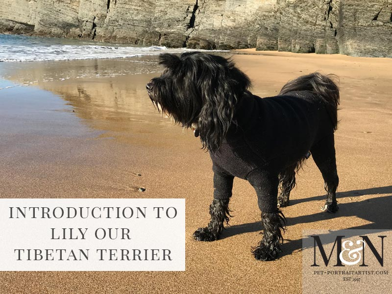 lily our tibetan terrier